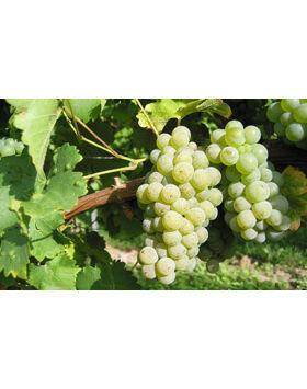 'Sauvignon Blanc' fehér borszőlő