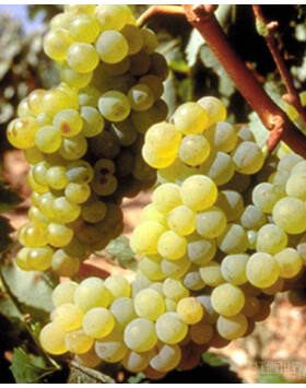 'Zenit' fehér borszőlő