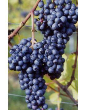 'Zweigelt' vörös borszőlő