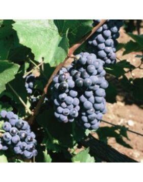 'Blauburger' vörös borszőlő