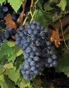 'Summer Royal' kék magvatlan csemegeszőlő