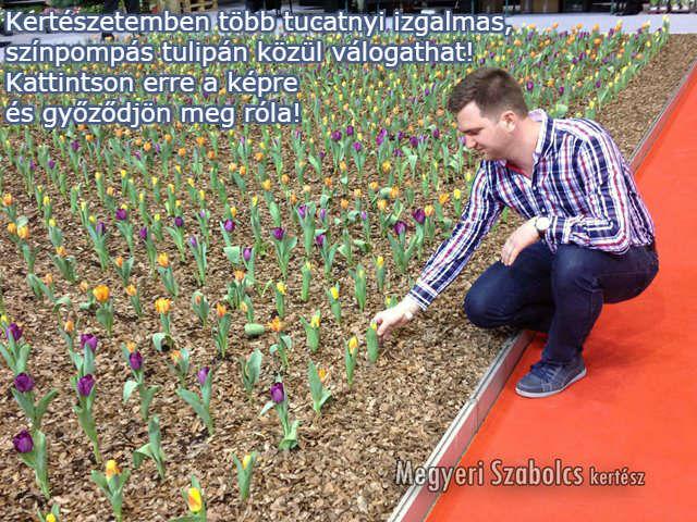 tulipán virághagyma vásárlás a Megyeri kertészetben