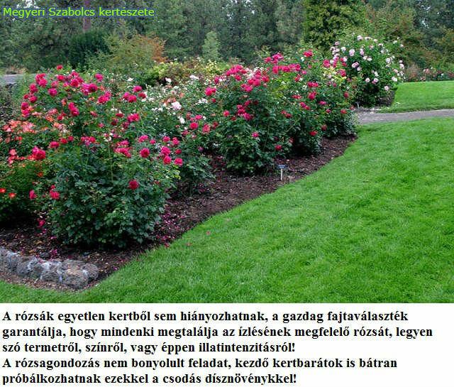 rózsa vásárlás Megyeri kertészet