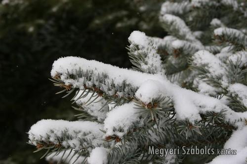 havas fenyőág