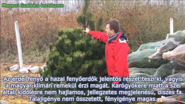 fenyőfa fajták erdei fenyő Megyeri kertészet