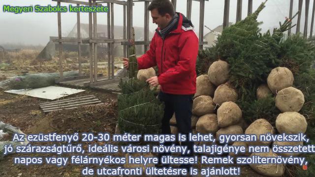 fenyőfa fajták ezüstfenyő Megyeri kertészet