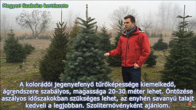 fenyőfa fajták kolorádófenyő Megyeri kertész