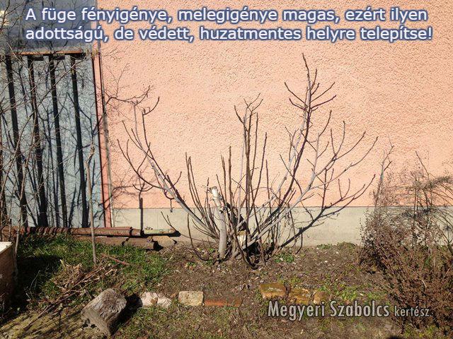 füge ültetése Megyeri Szabolcs kertészet