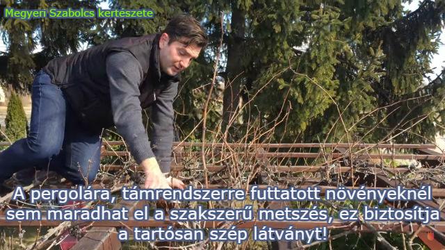 pergola szőlő metszése