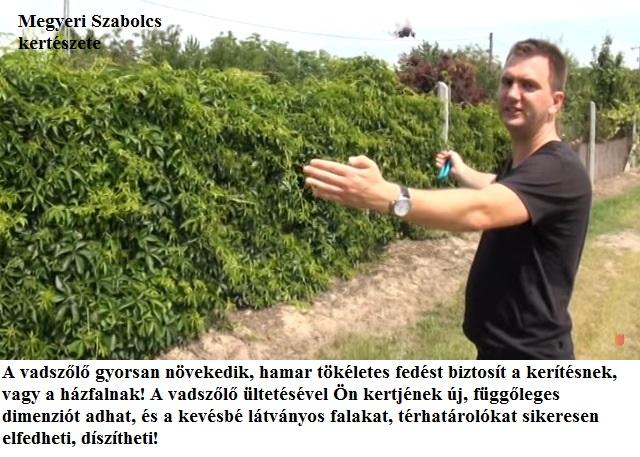 vadszőlő ültetése