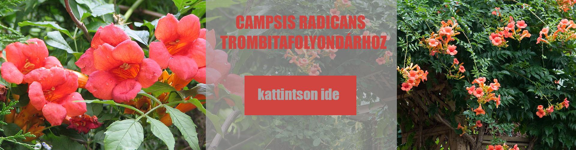 Campsis radicans – Trombitafolyondár