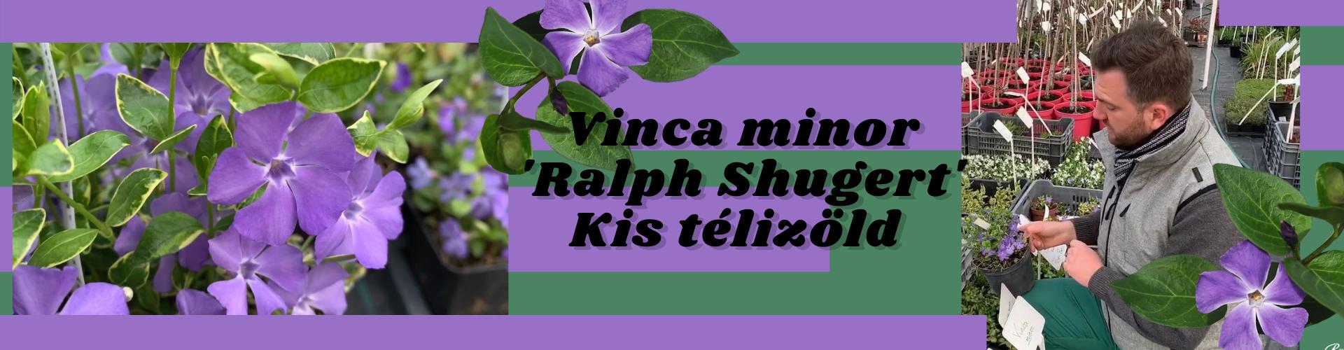 Vinca minor 'Ralph Shugert' – Kis télizöld