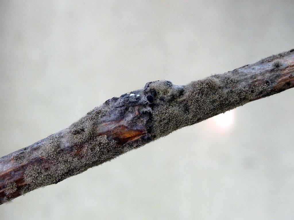 Füge ágpenész