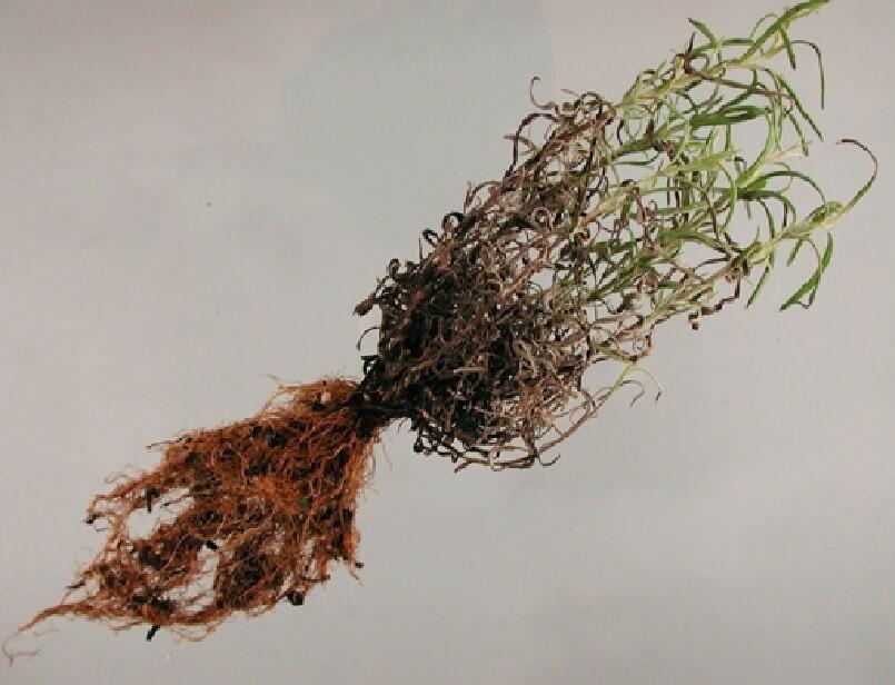 Levendula fitoftórás gyökérrothadása