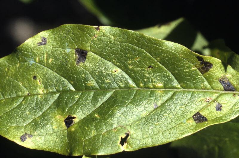 paraziták a hárs levelein