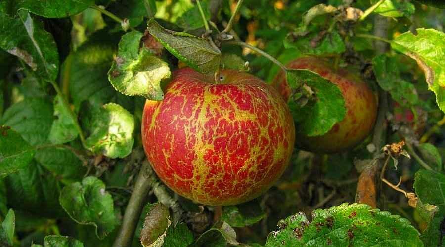 Almalisztharmat a termésen