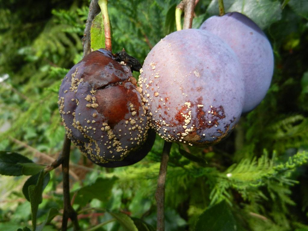 A gyümölcsfertőzést előidéző monilínia ilyen károkat képes okozni