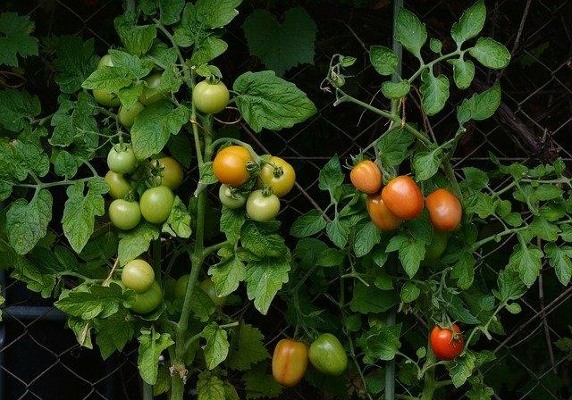 Paradicsom vetőmag kapható kertészetemben!