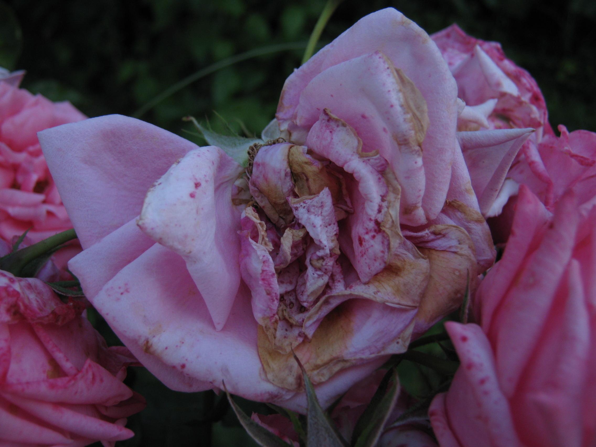 A rózsa szirmain a botritisz által okozott esztétikai elváltozás