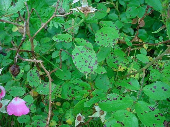A rózsa diplokarponos foltossága