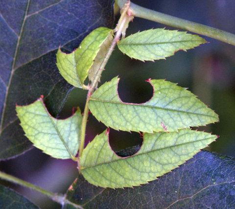 A szabódarazsak rózsaleveleken okozott esztétikai károsítása