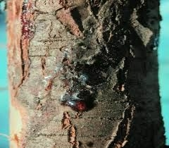A Leyland ciprus seiridiumos betegsége