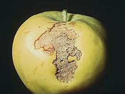 Sodrómoly kártétele alma termésén