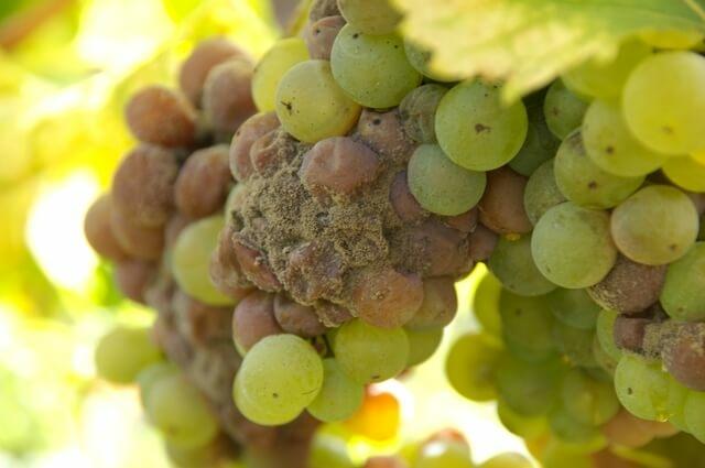 Szürkepenész jele a szőlőfürtön