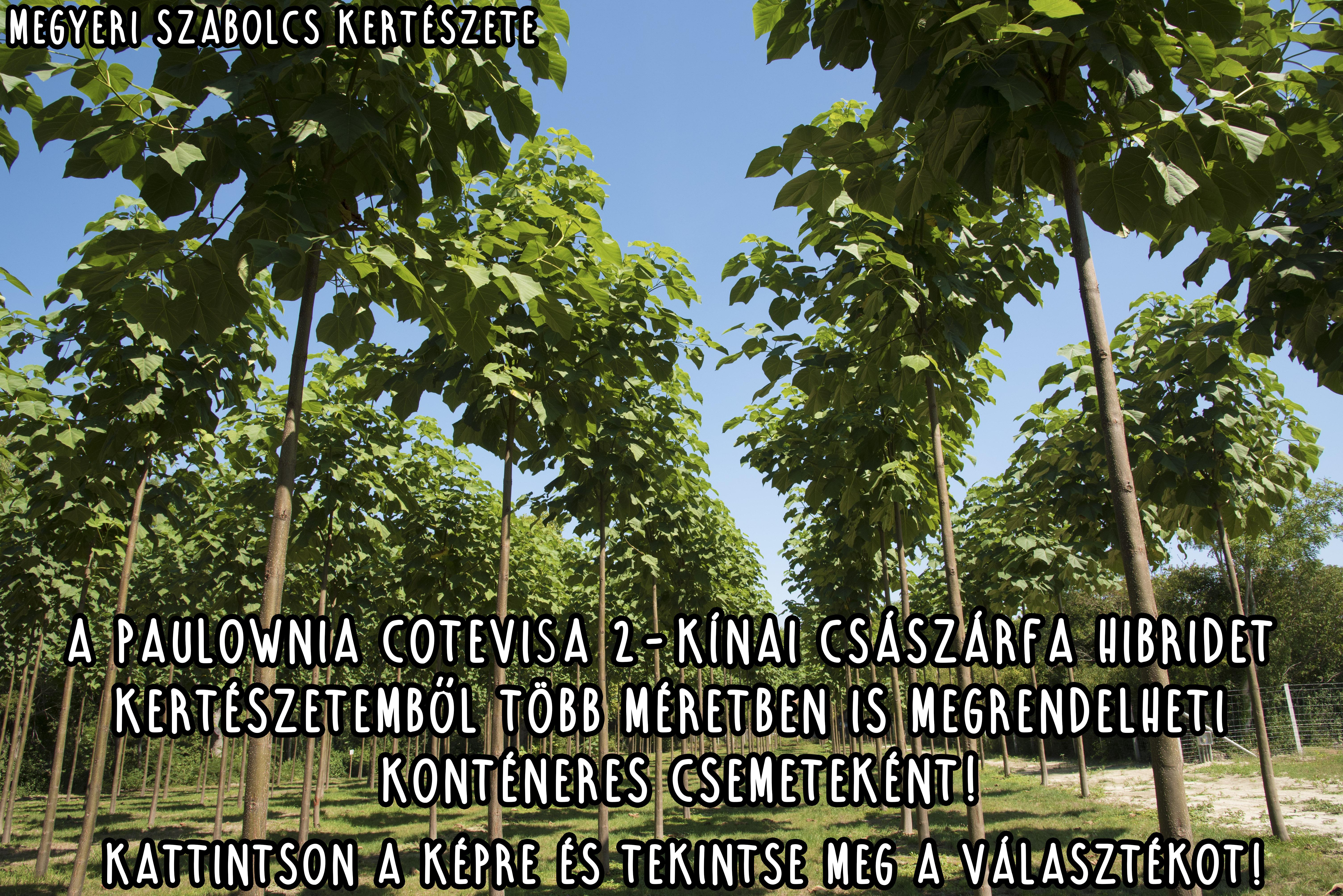 Paulownia Cotevisa2 - Fagytűrő császárfa rendelése