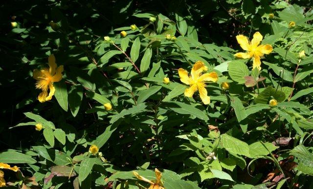 Így néz ki az örökzöld orbáncfű virága