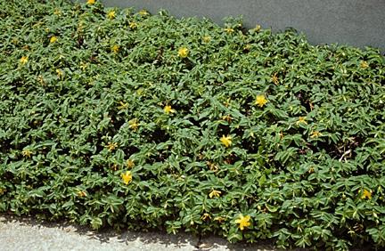 Örökzöld orbáncfű tömegesen ültetve