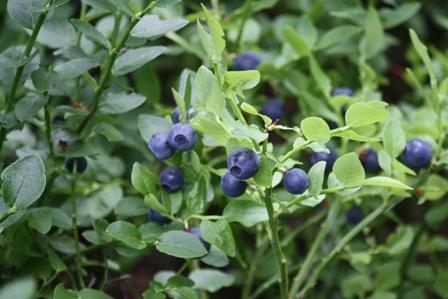 Áfonya termések a növényen