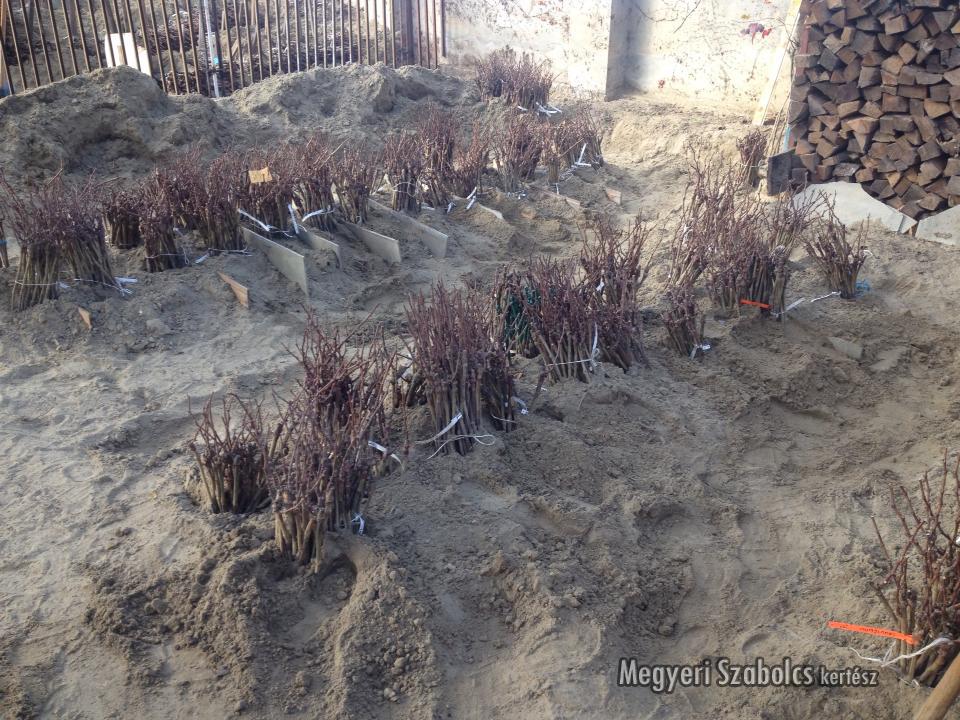 Szőlőtőkék ültetés előtt