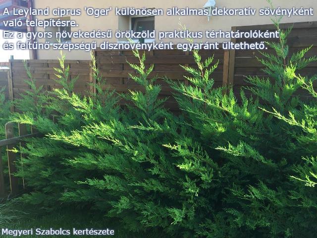 leyland ciprus rendelése Megyeri kertészet