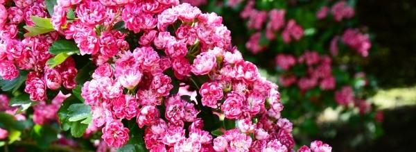 Cseresznye virágzat