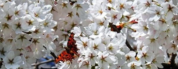Cseresznye fehér virága