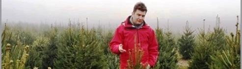 Élő, dézsás karácsonyfa