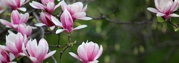 magnólia virágosan