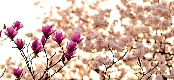 Magnólia virágai