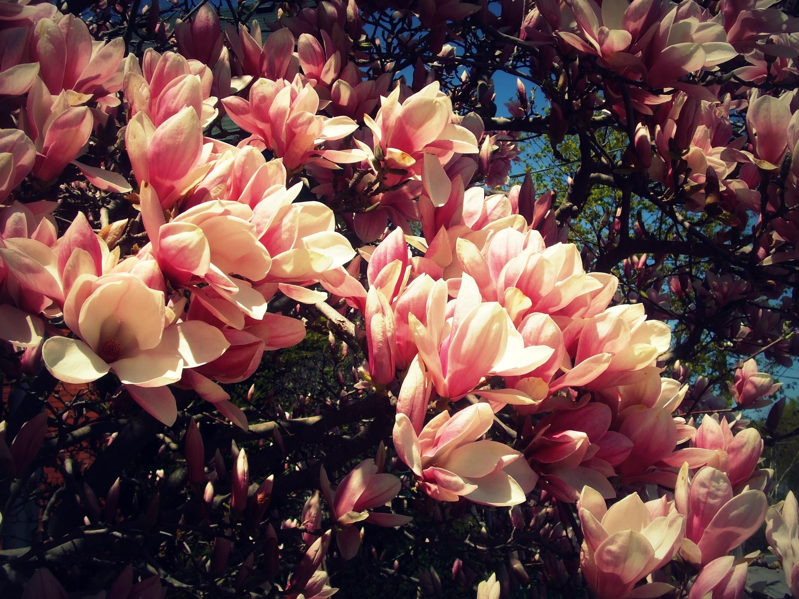 Liliomfa virága