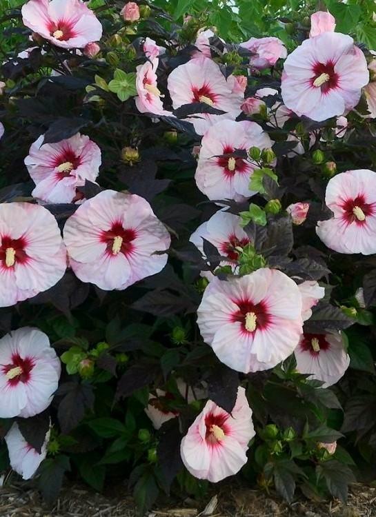 Mocsári hibiszkusz virága