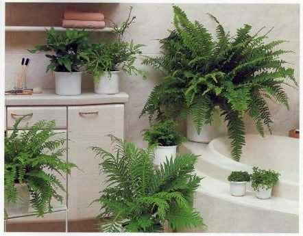 Szobapáfrányok a fürdőszobában