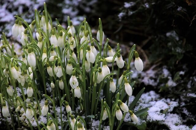 A tavaszi kerti munkára kedvesen csalogató hóvirágok