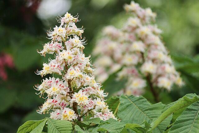 A vadgesztenye kúp alakú virágzatai csodás látványt nyújtanak
