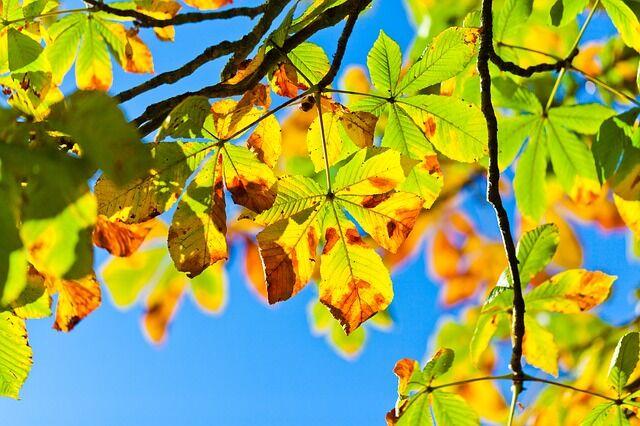Ősszel a vadgesztenye levélzete új színt ölt magára