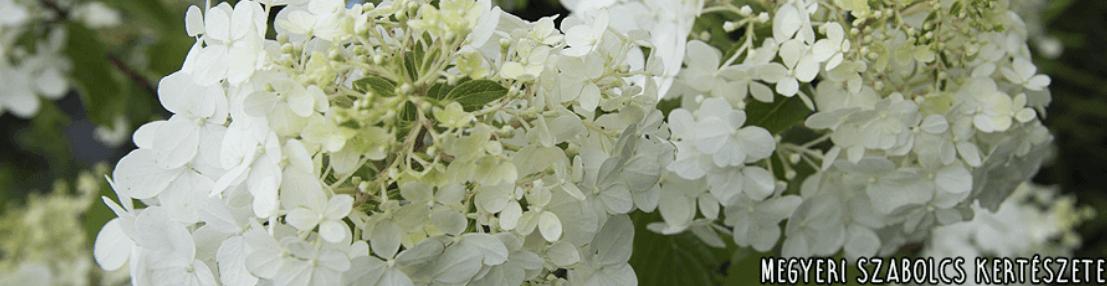 A bugás hortenzia fehér virágai