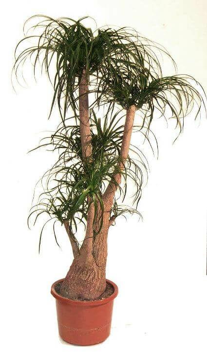 Buzogányfa
