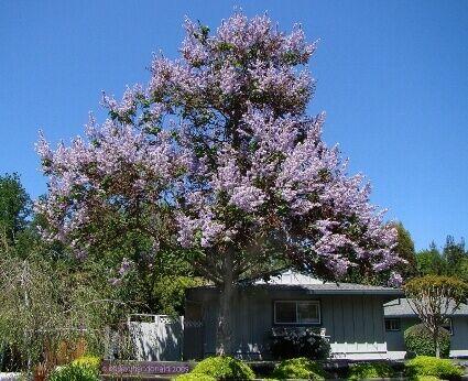 császárfa csemete kapható a Megyeri kertészetben