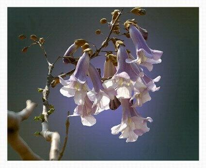 Császárfa virágzata