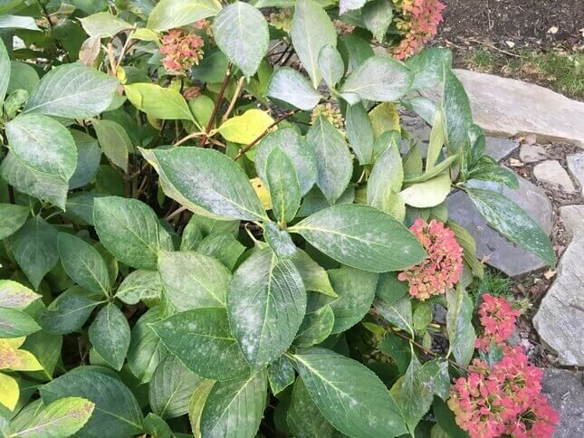A hortenzia lisztharmata (Golovinomyces orontii)
